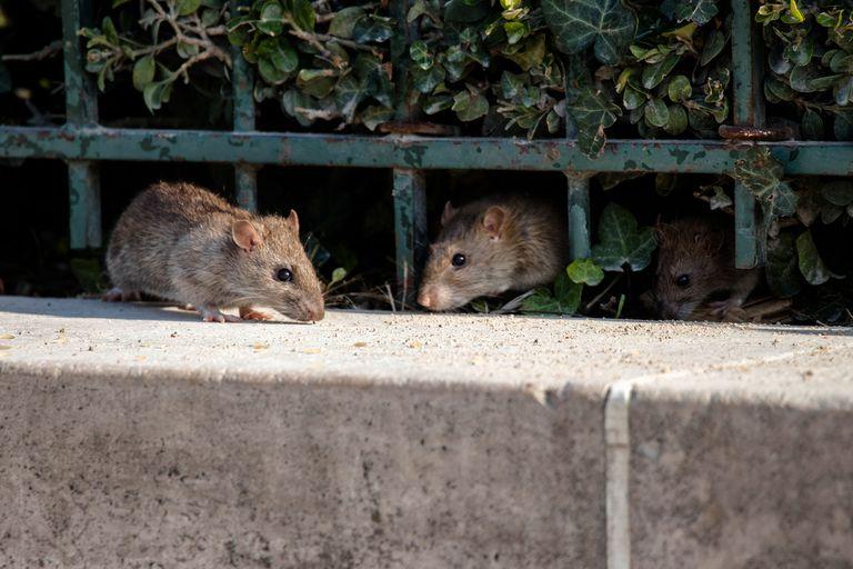 Con la cuarentena, las ratas salen a buscar comida y aparecen en las casas