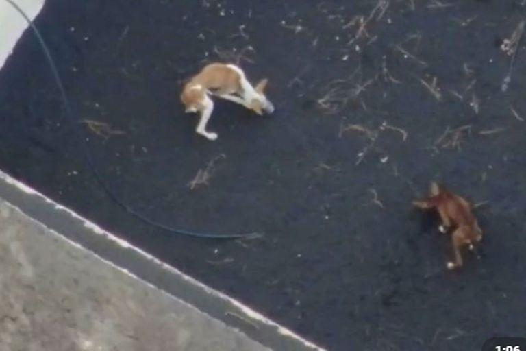 Misterio por el rescate de perros atrapados y rodeados de lava