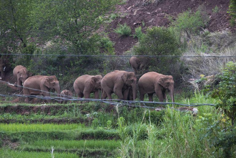 Wan Yong, quien encabeza el equipo que monitorea a los elefantes, dijo en la conferencia de prensa el lunes que la manada había cruzado el río Yuanjiang y continuaba hacia el sur.