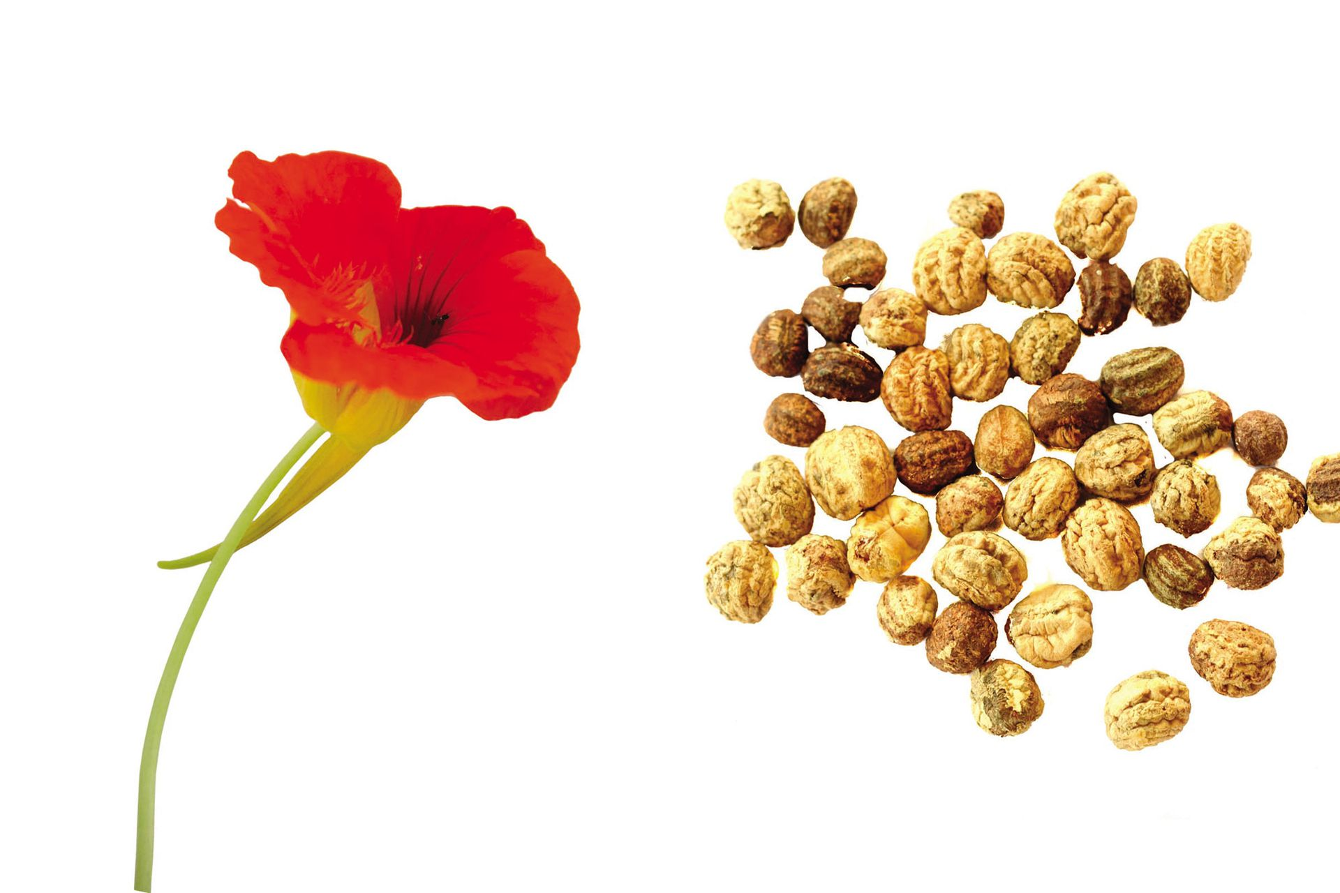 Flor y semillas de taco de reina. Se siembra entre marzo y mayo y puede cosecharse entre junio y octubre.