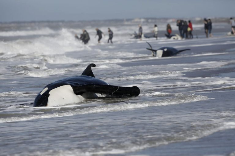 Siete orcas quedaron encalladas