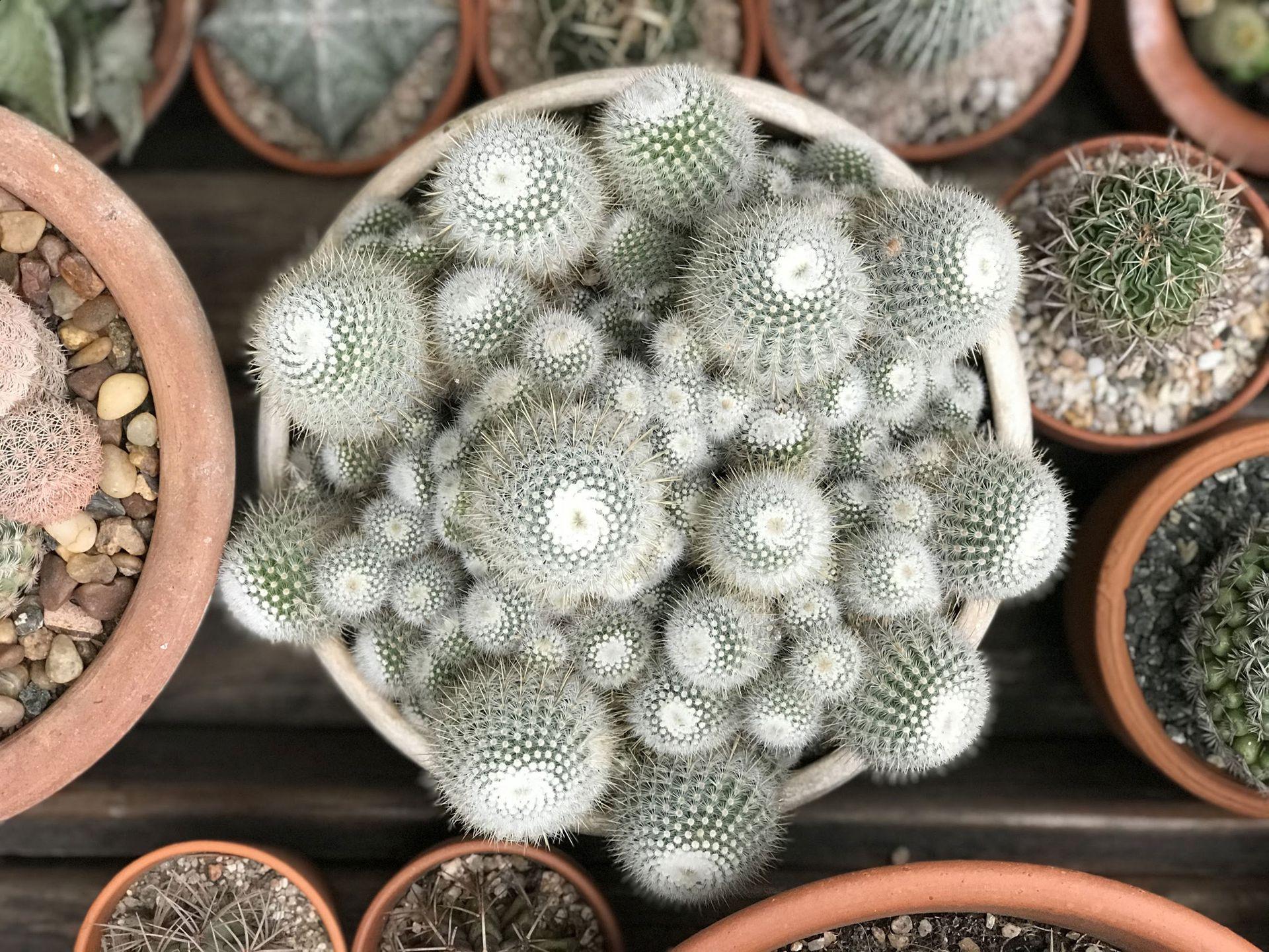 Un bello ejemplar de Notocactus Scopa.