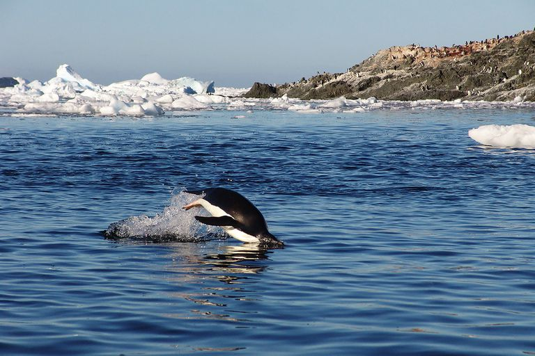 El pingüino es una de las especies más importantes que habita en la Antártida