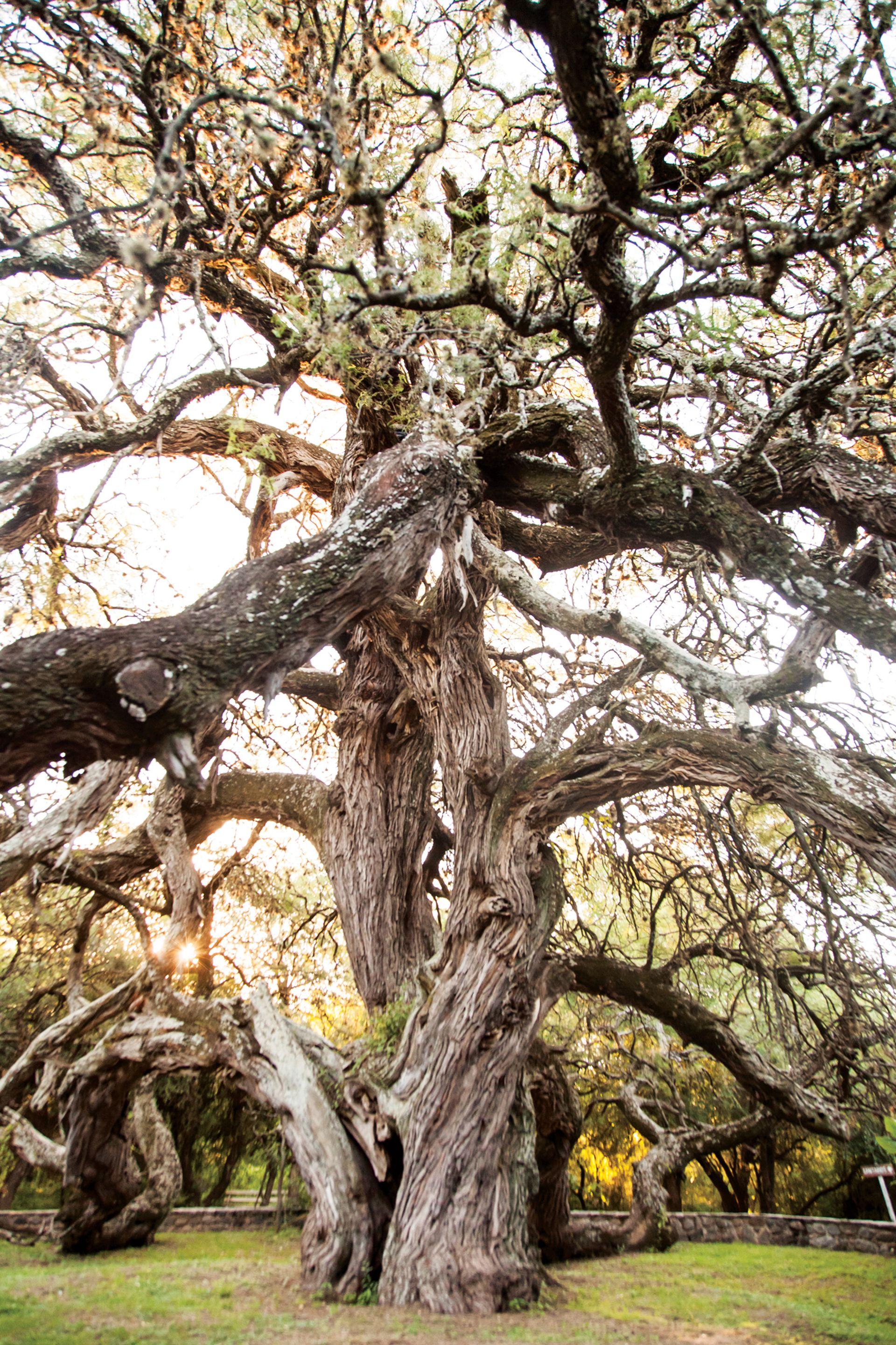El gigante algarrobo abuelo es una figura icónica en las afueras de la Villa de Merlo.