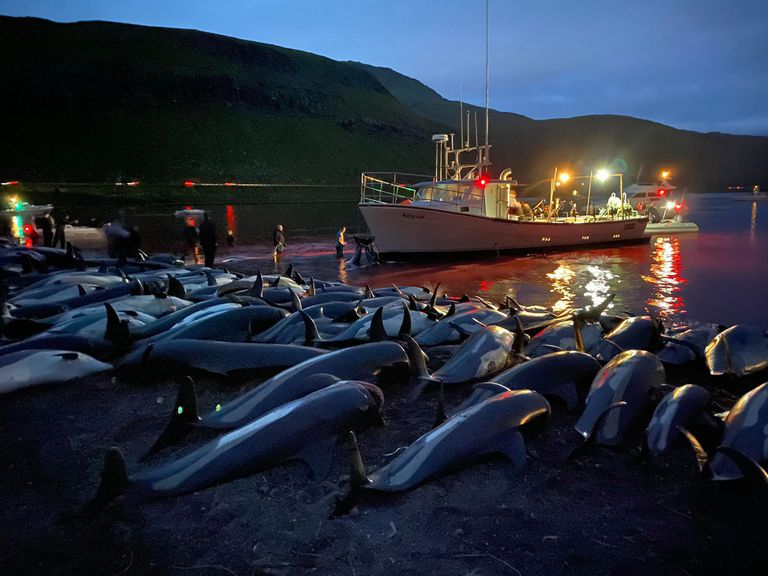 La exhibición de los cuerpos de los delfines cazados en Islas Faroe