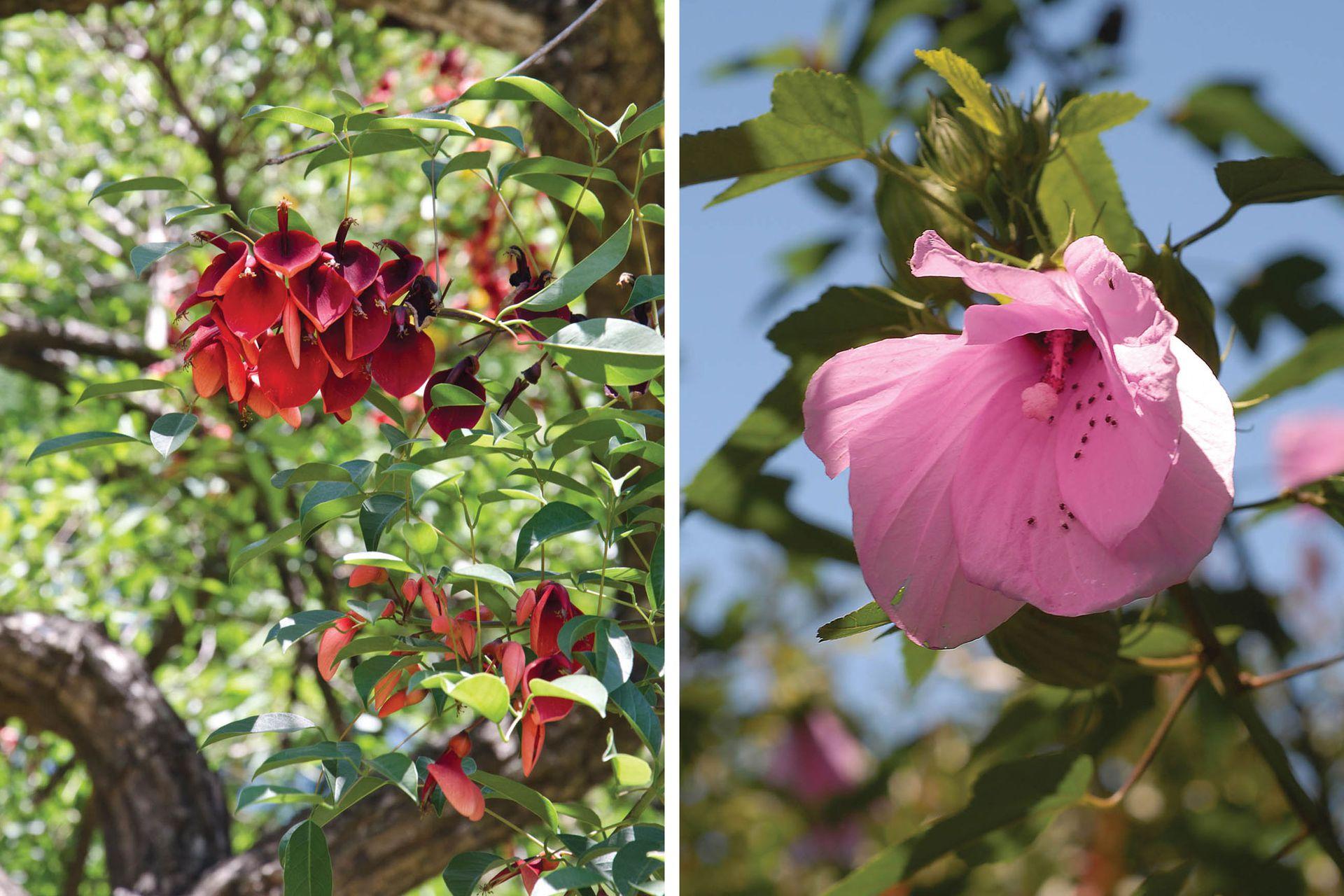 Izquierda: Erythrina crista-galli, popularmente conocido como ceibo, seibo o suinandí. Derecha: Hibiscus striatus, llamada rosa del río, rosa del bañado o flor bonita.