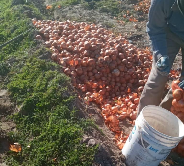 Dejarán que se pierdan millones de kilos de cebollas en los campos del sur bonaerense