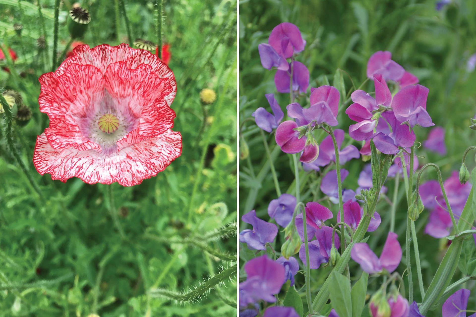Especies de ciclo OIP (se siembran en otoño y florecen en primavera): Papaver rhoeas o amapola silvestre (izquierda) y Lathyrus odoratus (alverjilla de olor).