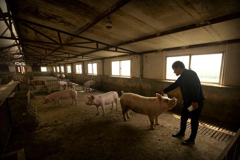 En China la enfermedad redujo el rodeo porcino
