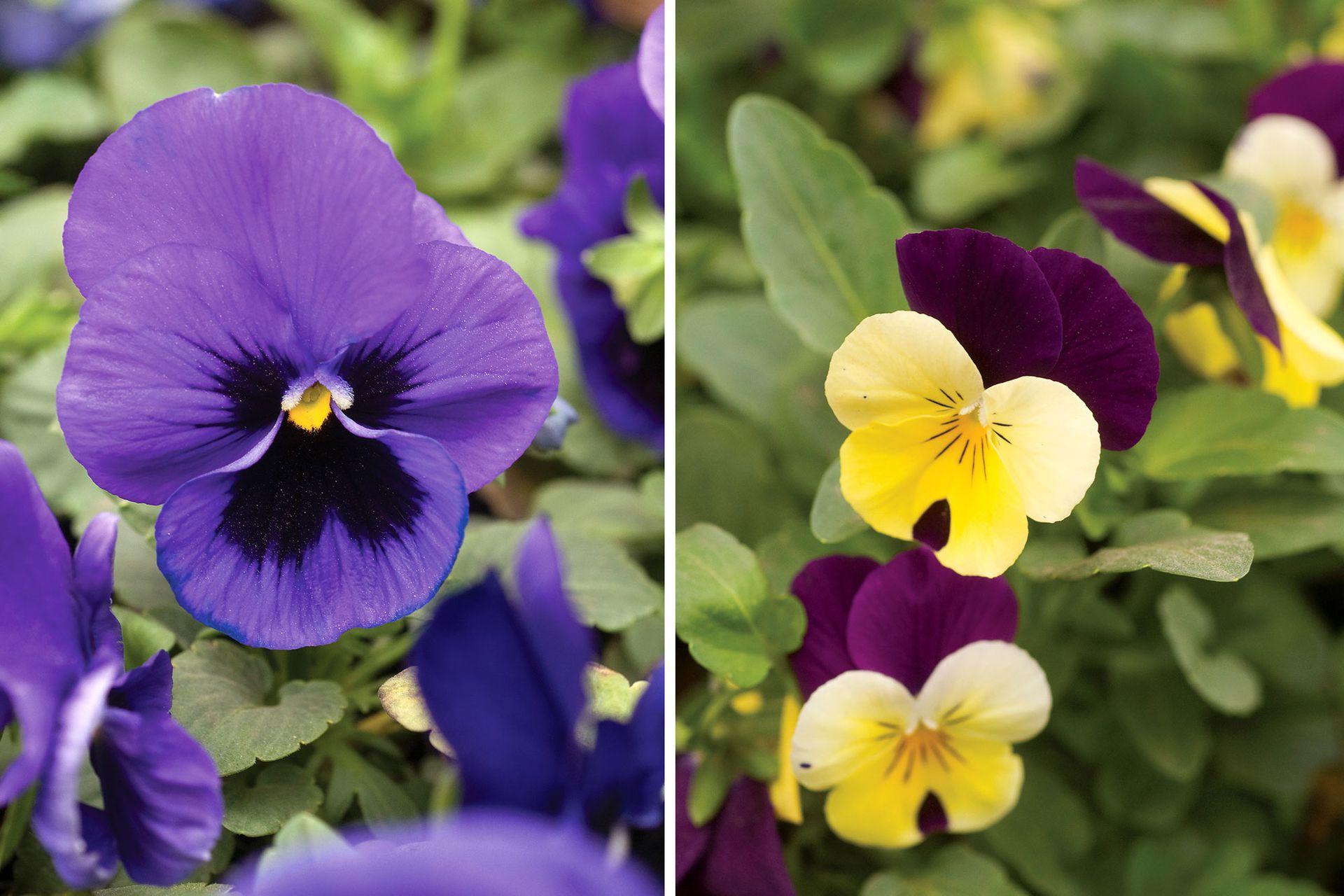 Pensamientos. De la familia de las Violáceas, es una especie de origen europeo que da flores, por lo general, tricolores.