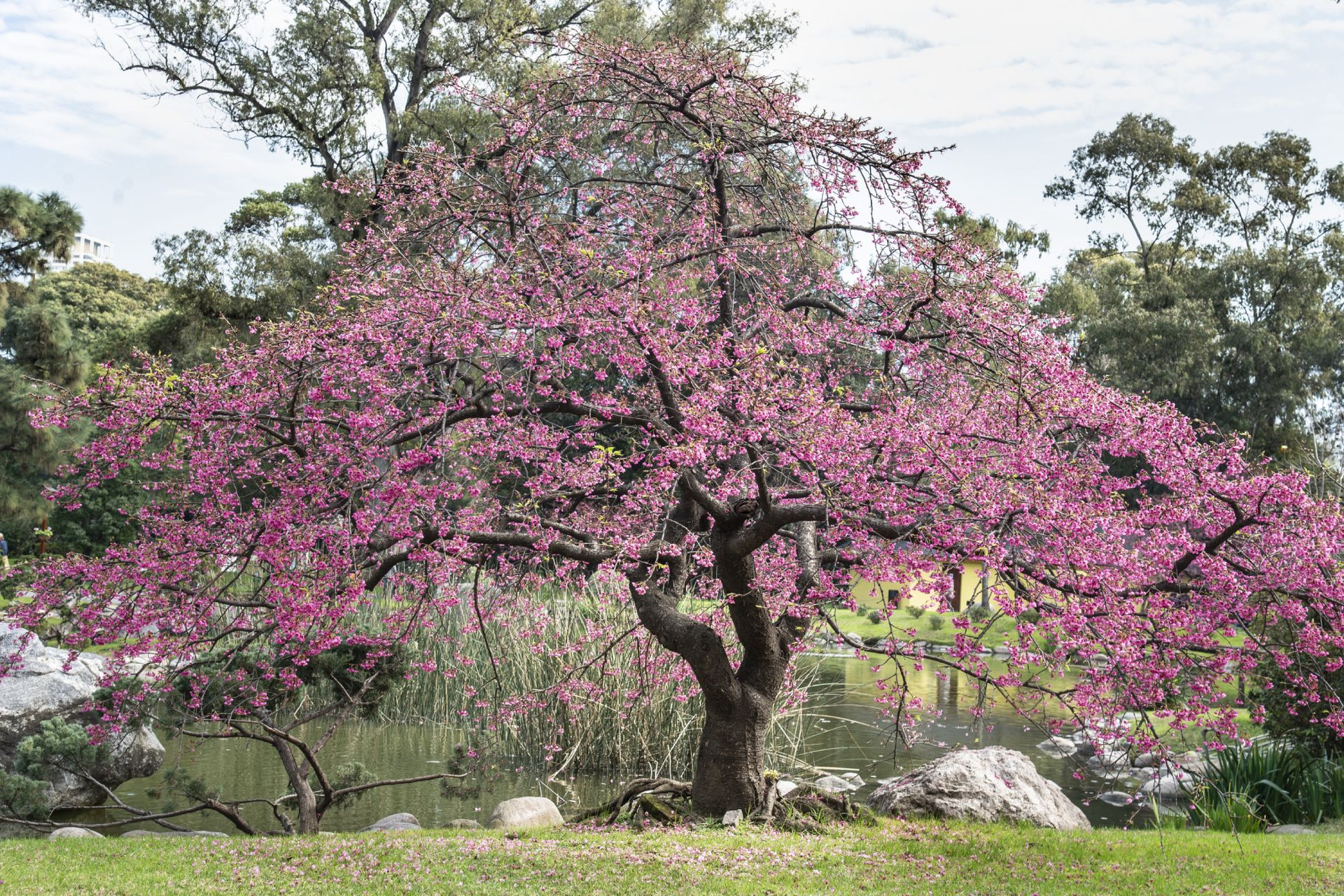 Unos 40 árboles atraen con sus sutiles y exquisitos rosas claros y oscuros.