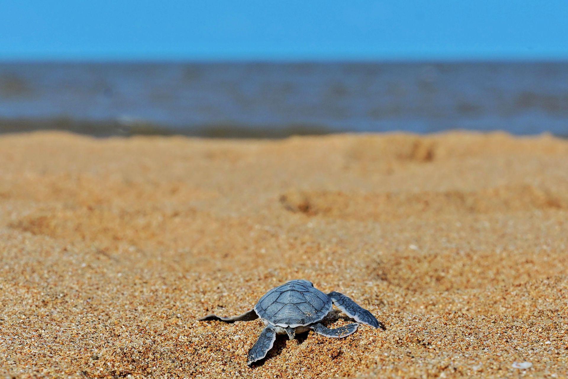 Las hembras suelen ir a poner huevos a las mimas playas donde anidó su madre