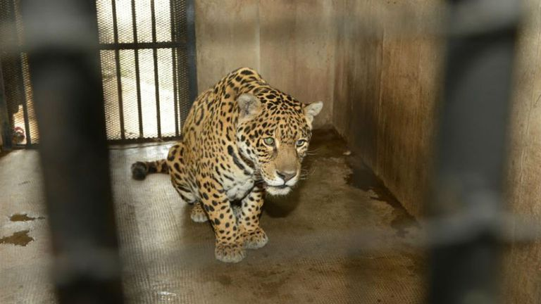 Los felinos viven en habitáculos reducidos que los condicionan en sus posibilidades