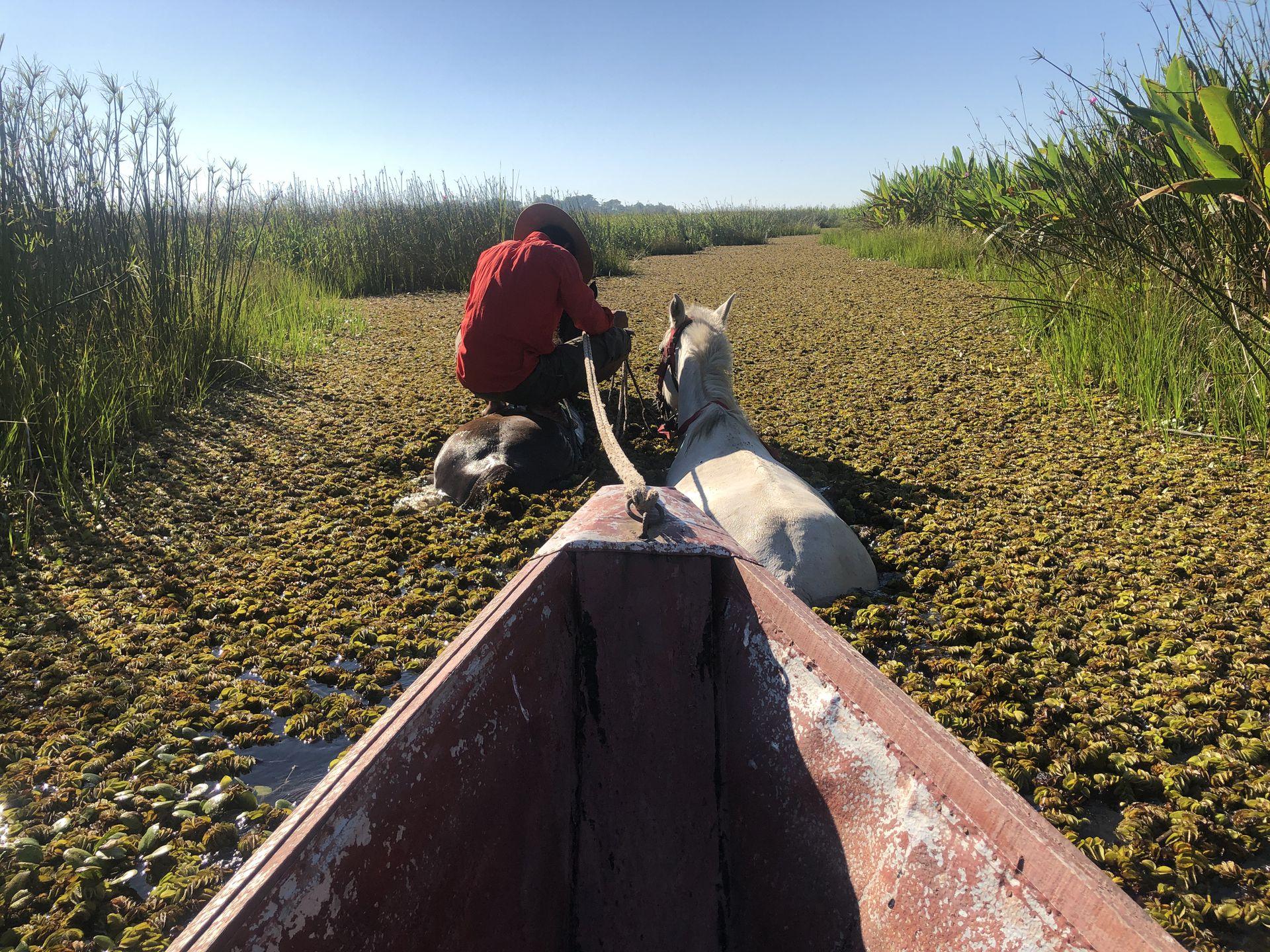 Recorrido en un bote, empujado por caballos, entre los pantanos de Iberá