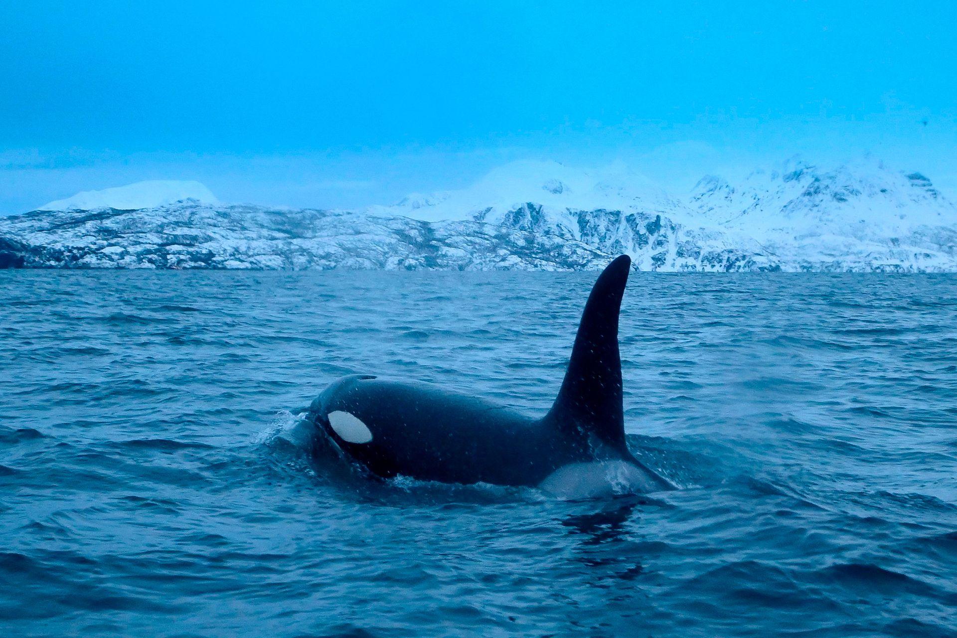 Una orca persigue arenques el 14 de enero, en la región del fiordo de Reisafjorden, cerca de la ciudad noruega de Tromso