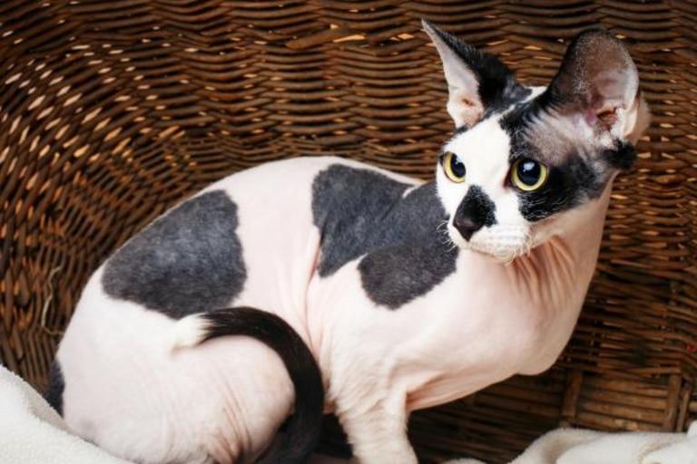 Estos gatos suelen ser aborrecidos por su falta de pelo