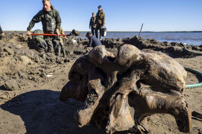 Se cree que los mamuts lanudos murieron hace unos 10.000 años, aunque los científicos creen que pequeños grupos de ellos pudieron haber vivido más tiempo en Alaska y en la isla rusa Wrangel en la costa siberiana