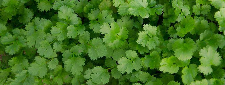 Cilantro: secretos de la hierba que despierta amores y odios