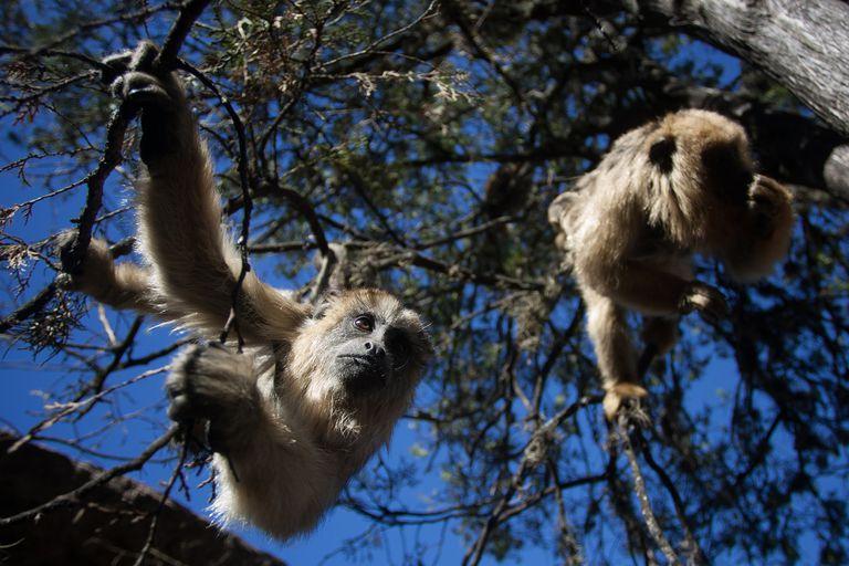 Incendios en Córdoba. Campaña para ayudar a los monos carayá amenazados