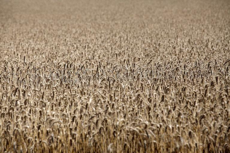 Producción. No solo en las zonas tradicionalmente trigueras hay una buena intención de siembra