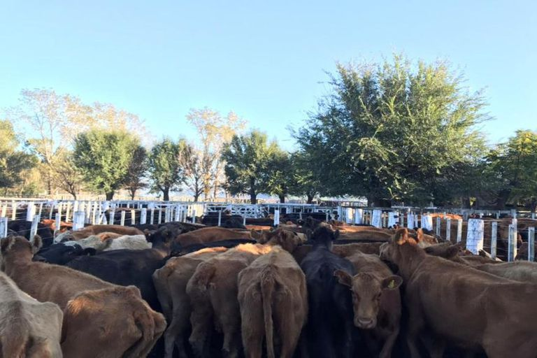 El cepo impactó en una categoría de vaca cuya carne no tiene salida para el mercado interno
