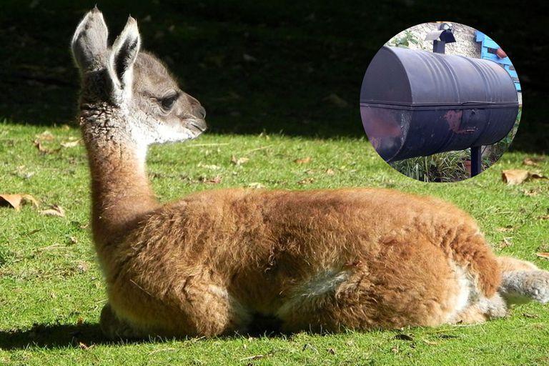 El chulengo, que algunos aseguran es un invento patagónico, debe su nombre a la cría del guanaco