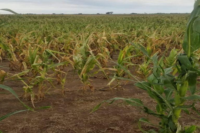 Un lote con maíz afectado por la sequía en Villa Mirasol, en Quemú Quemú