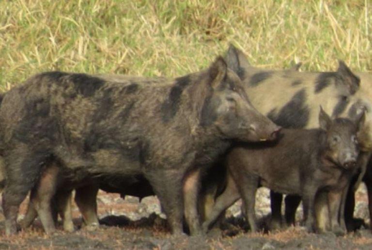 """Un experto afirmó que los cerdos salvajes """"son como tractores que aran los campos, removiendo el suelo para encontrar comida"""""""