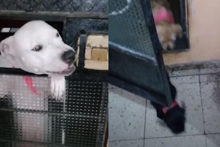 Misha se viralizó en TikTok gracias a un video que muestra cómo abre la puerta de su casa y entra junto a varios cachorros
