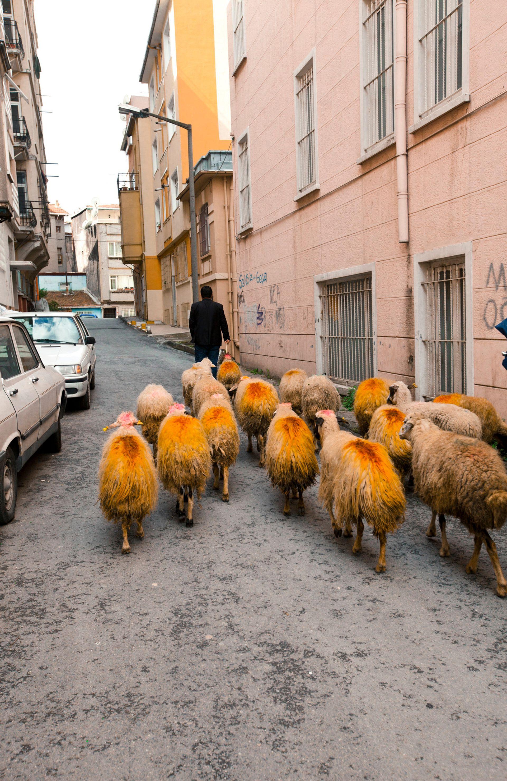 Rebaño de cabras en Ömer Hayyam.