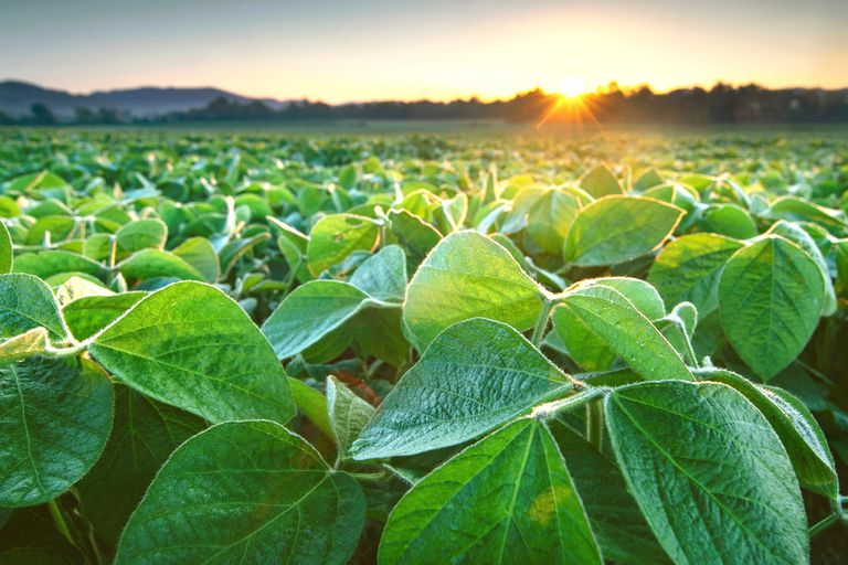 Mejoramiento genético vegetal: las claves para producir más y de manera sustentable