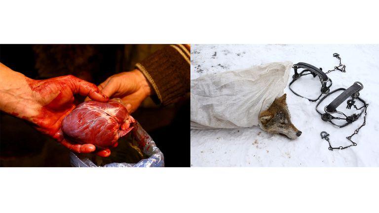 No solo la piel del lobo es buscada, también su corazón se utiliza para medicina tradicional