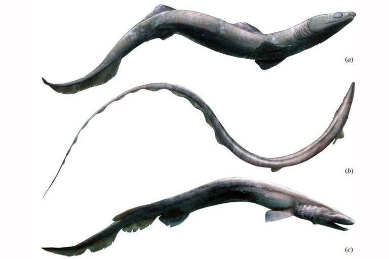 Hallan los restos esqueléticos de Phoebodus, un extraño tiburón ancestral