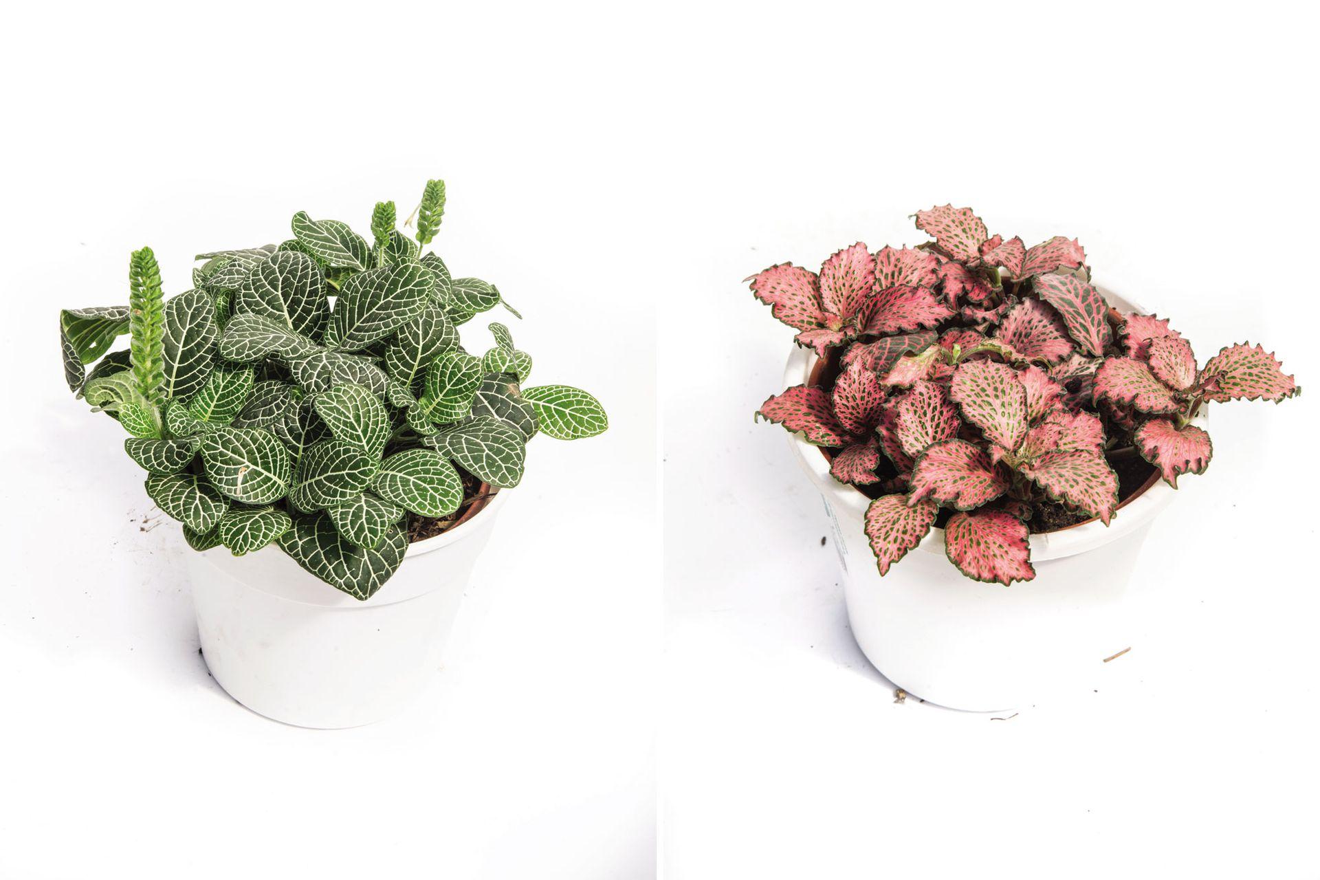Fittonia albivenis (izquierda) y Fittonia albivenis  CV. 'Pink Star' (derecha). Es una herbácea originaria de las selvas tropicales de Sudamérica. Necesitan un ambiente cálido y muy húmedo.