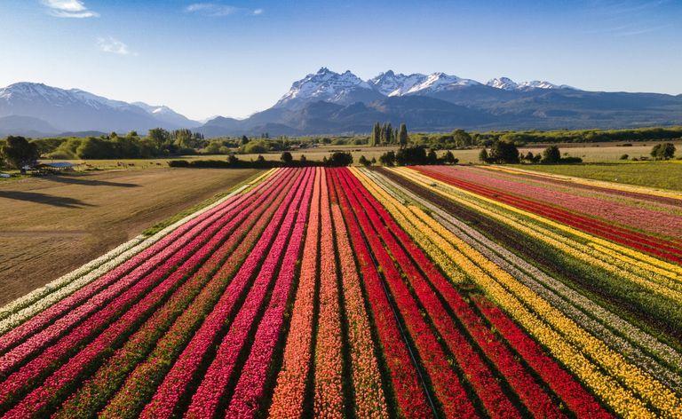 El increíble campo de tulipanes que es un boom turístico