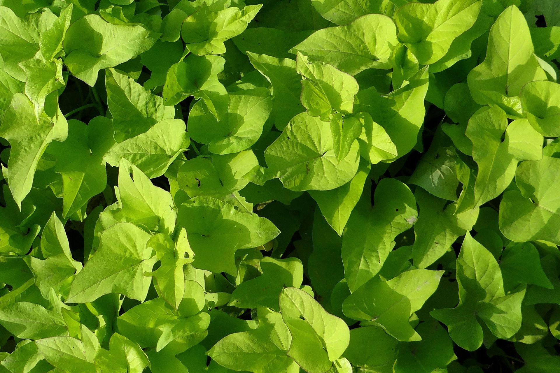 Una vez que los plantines se trasplantan, plantas llenas de vigor y energía pronto empiezan a expandirse para todos lados.
