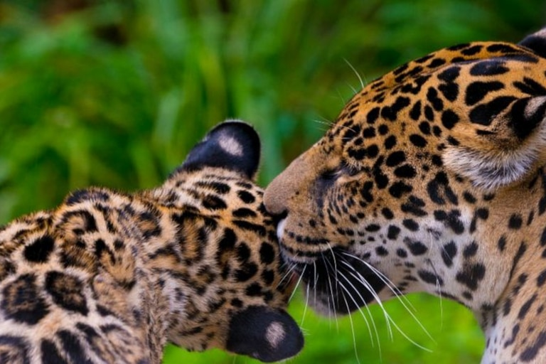 """Se propuso aumentar la categoría de amenaza del jaguar en la UICN a """"vulnerable"""""""