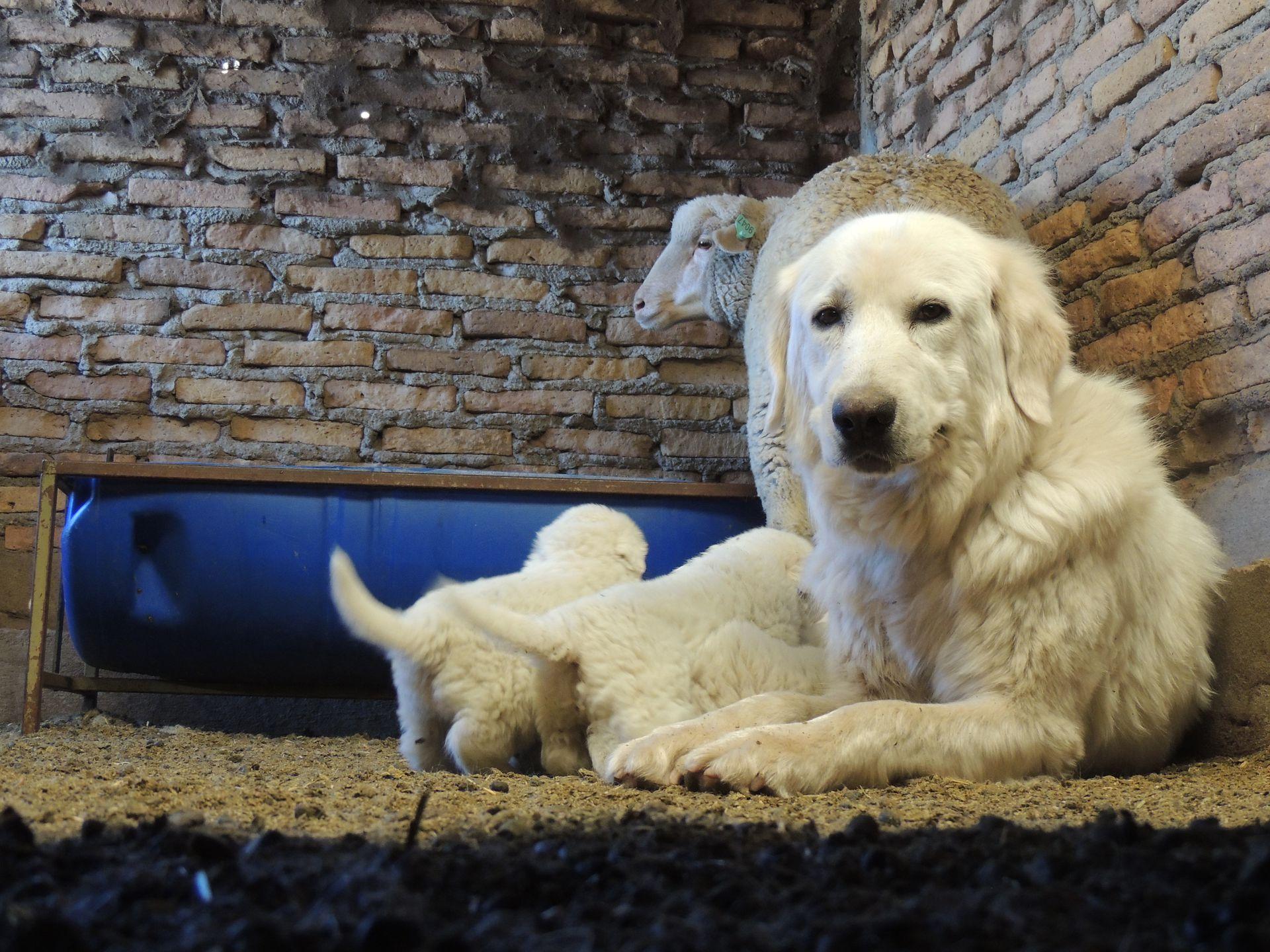 Los perros se crían junto al ganado para improntarlos y formar un vínculo estrecho con los animales que van a cuidar