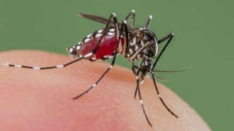 El mosquito Aedes aegypti es el vector transmisor del virus zika