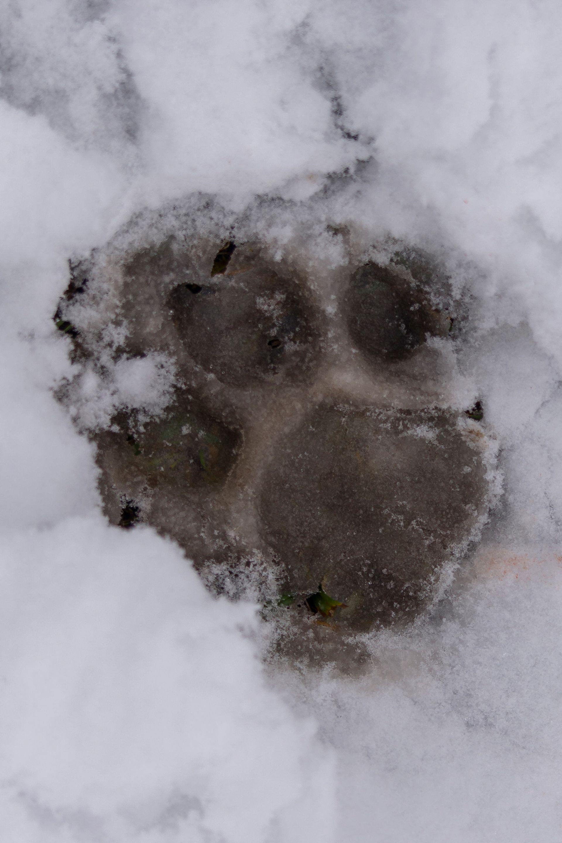Las huellas de los felinos son importantes indicios para detectar su presencia.