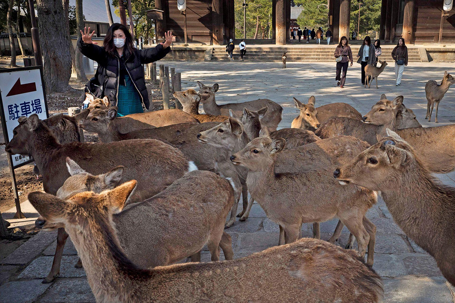 Por la falta de turismo y las calles vacías los ciervos se lanzaron a caminar por la ciudad