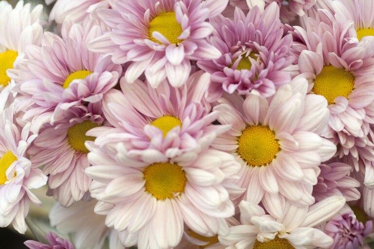 """Los crisantemos (en Japón se los llama kiku) son multifacéticos. Entre los innumerables tipos, hay uno muy difundido por su simpleza y frescura: son las """"margaritas"""" que todo el año ofrecen los floristas."""
