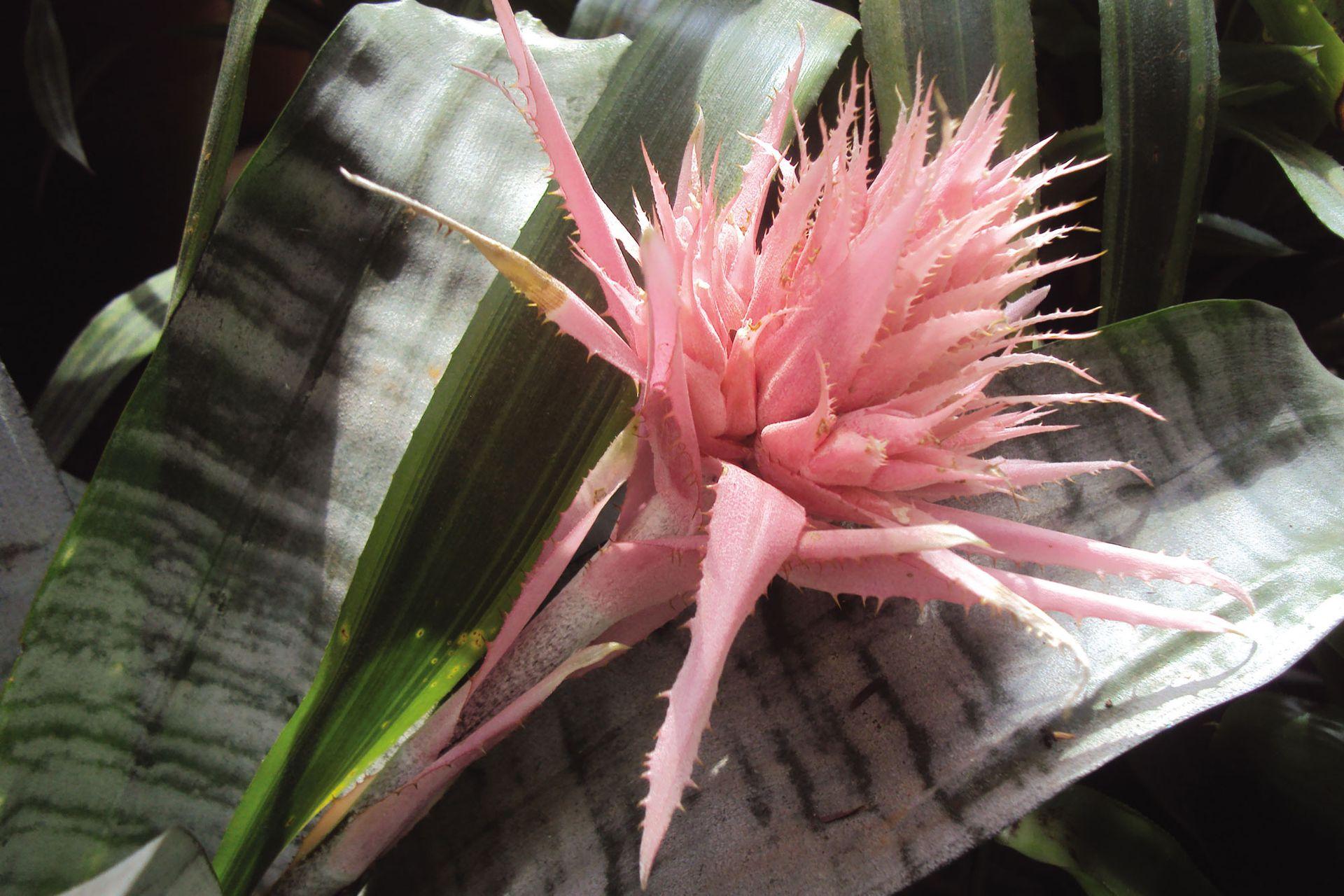 Una de las bromelias más usadas en interiores, Aechmea fasciata: forma una roseta gris verdoso y de su centro nace una flor rosada que puede durar varios meses.