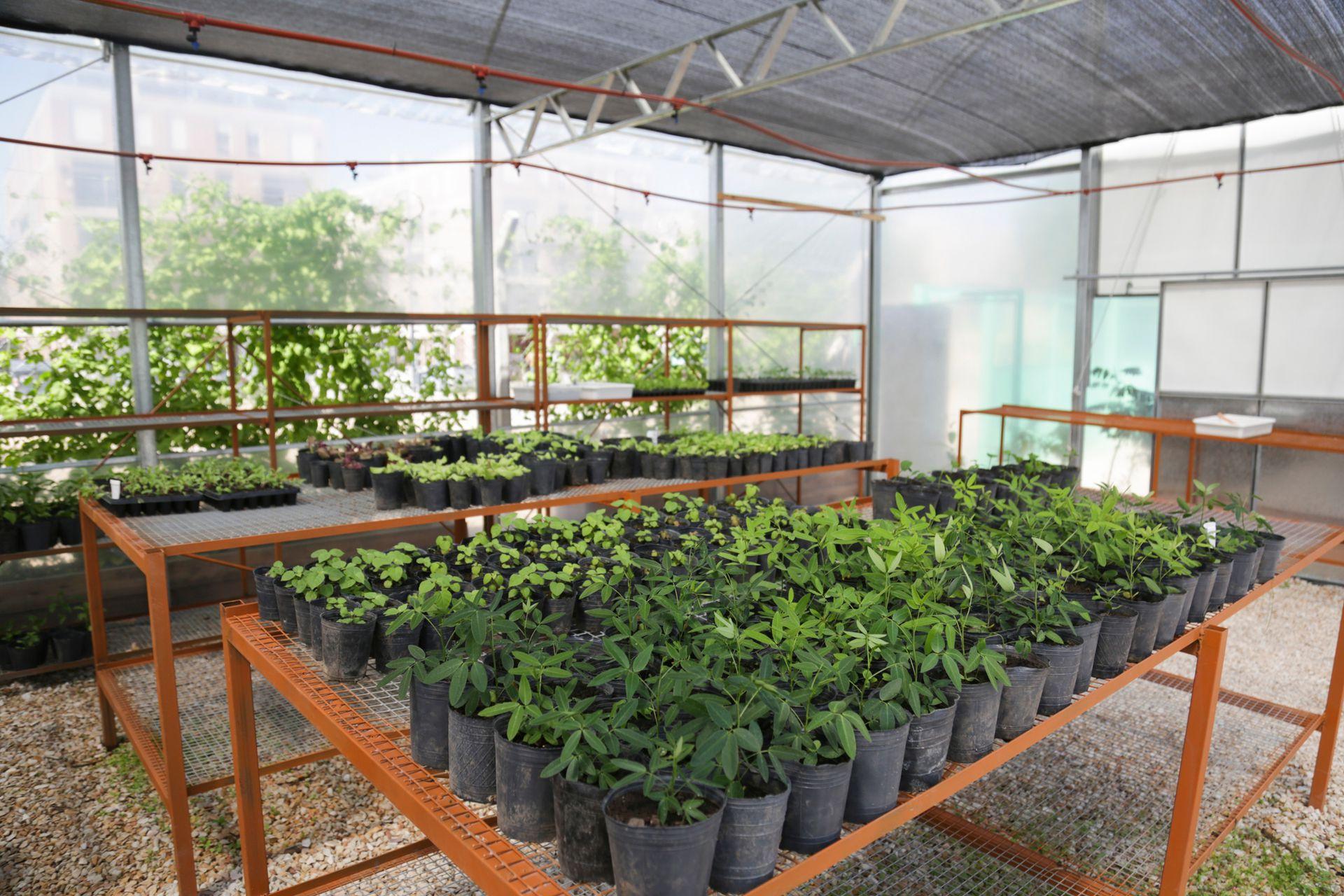 En el invernadero se cultivan especies de árboles nativos que luego serán utilizados en la vía pública