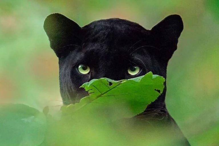Muchos no tardaron en comparar la pantera negra con Bagheera de El Libro de la Selva, uno de los clásicos de Disney