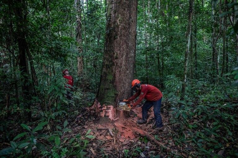 Un equipo de tala derribó una secuoya brasileña en el Bosque Nacional Caxiuanã, en el estado de Pará, en Brasil, en octubre de 2019. Muchos ambientalistas culpan directamente al presidente Jair Bolsonaro por el aumento de la deforestación, citando el despido de funcionarios clave del principal regul