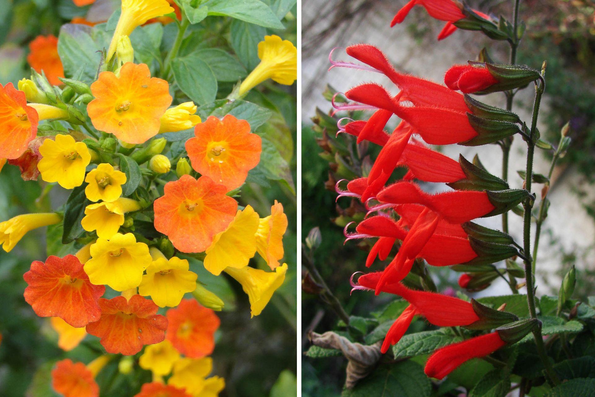 Izq.:Streptosolen jamesonii, conocido como arbusto de fuego. Der.: Salvia gesneriiflora.