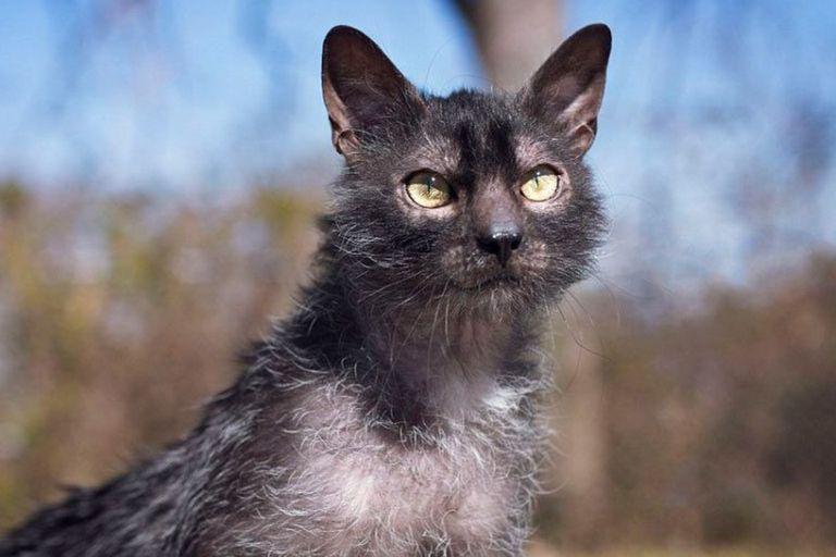El gato lobo, una extraña y poco vista especie