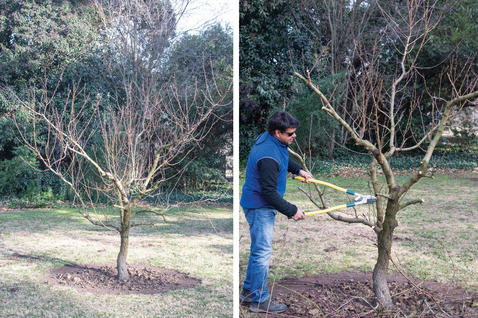"""La poda de un duraznero. Se deben ir eliminando las ramas que van """"para adentro y para arriba"""", para abrir la copa y permitir la entrada de aire y de luz al centro del árbol."""