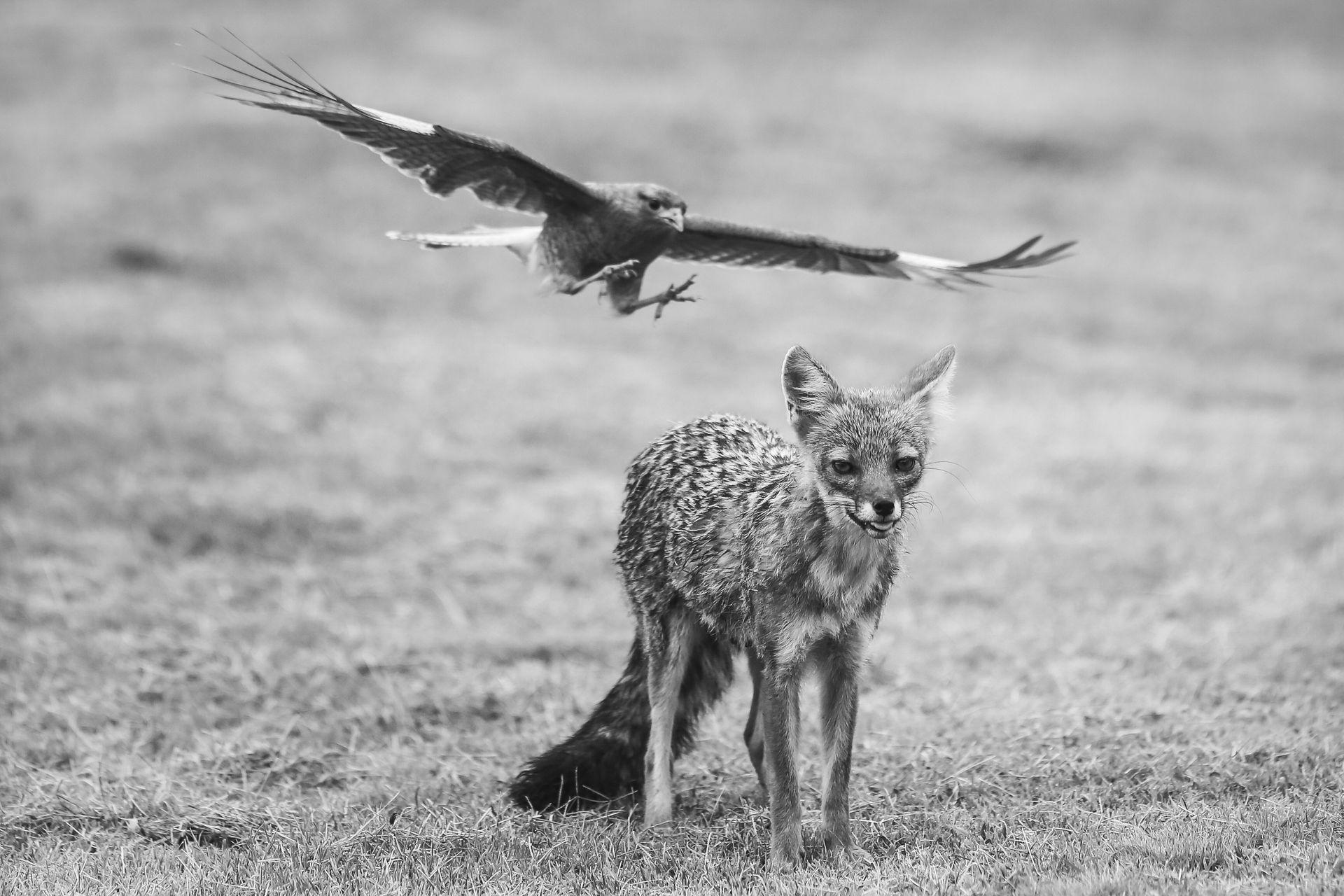 Un chimango disputa el territorio por comida a un zorro gris en Villa General Belgrano, Cordoba.